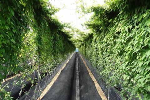 自然薯の栽培